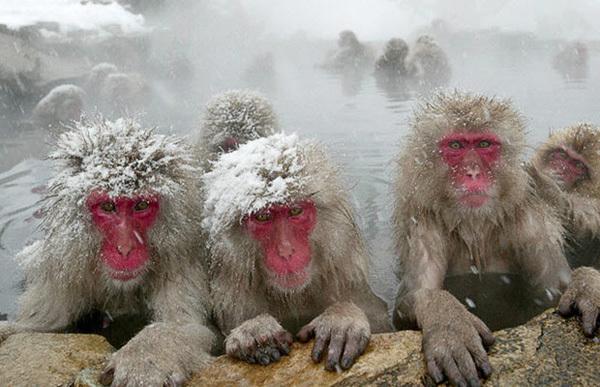 Снежные обезьяны в горячих источниках Адской долины.