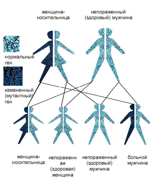 Гены мужчин и женщин.