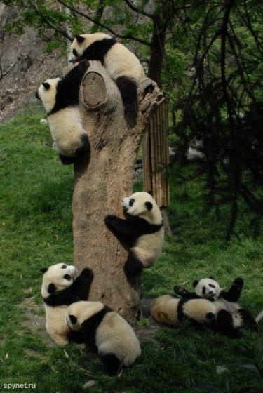 После землетрясения в Китае. Спасение пандят