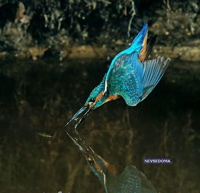 Красивый рыболов Kingsfighter