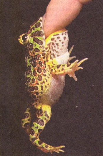 Вот это так жабка