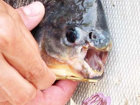 В австралийском городе живая и мертвая рыба падала с неба.