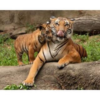 Всем кто родился в год тигра
