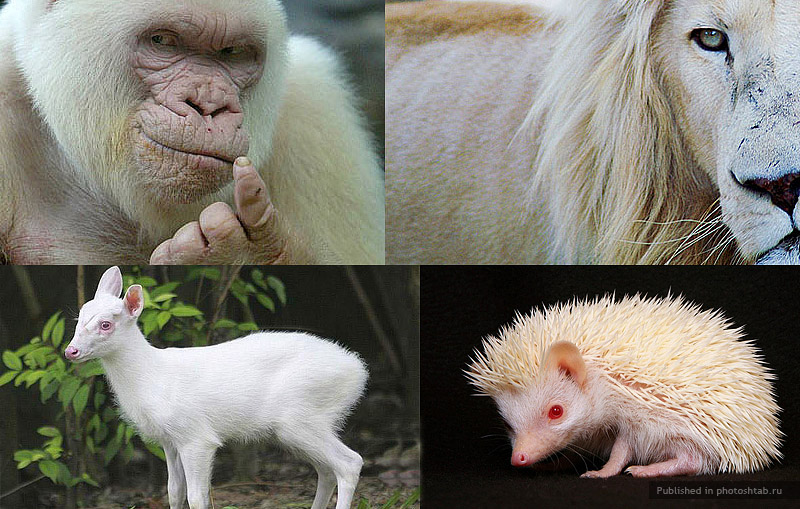 Животные-альбиносы.