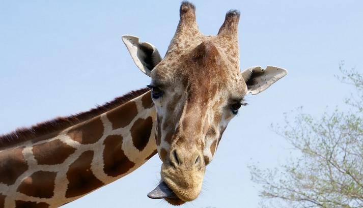 Интересные факты о жирафах.