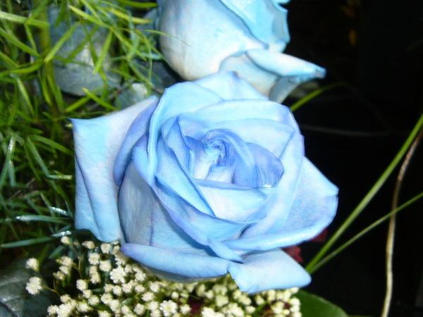 Настоящие голубые розы