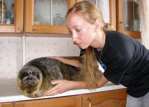 Домашний тюлень