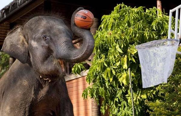 Тайские слоны, играющие в баскетбол.