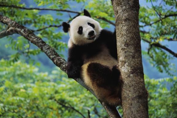 Не нервируйте панду. Укусить может. Ибо ведмедь!